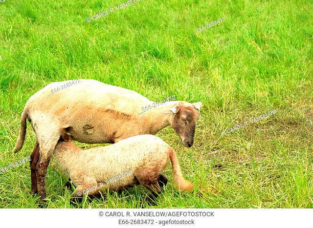 Freshly sheared sheep in pasture in Hoensbroek. Lamb is nursing from mother