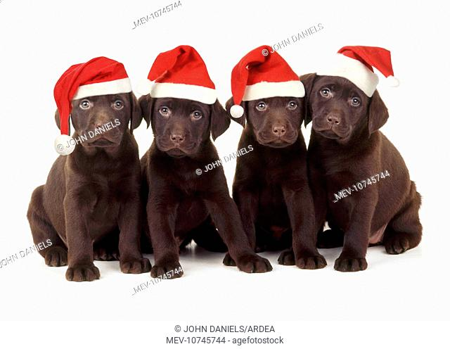 Chocolate Labrador Dog - puppies 6 weeks old wearing Christmas hats