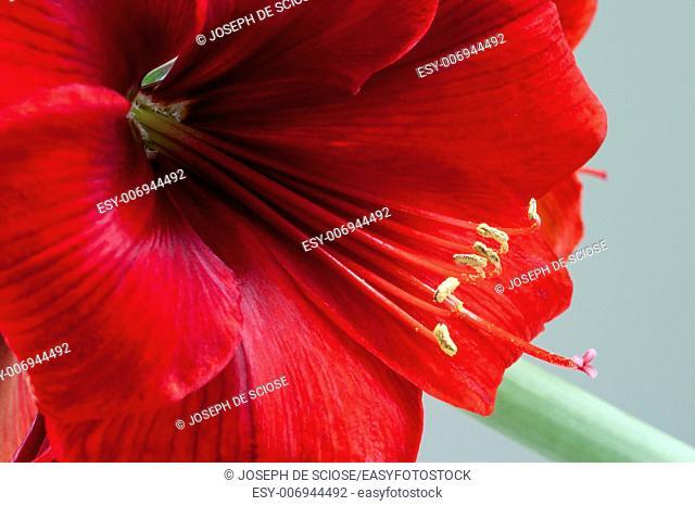 Close up a an Amaryllis flower