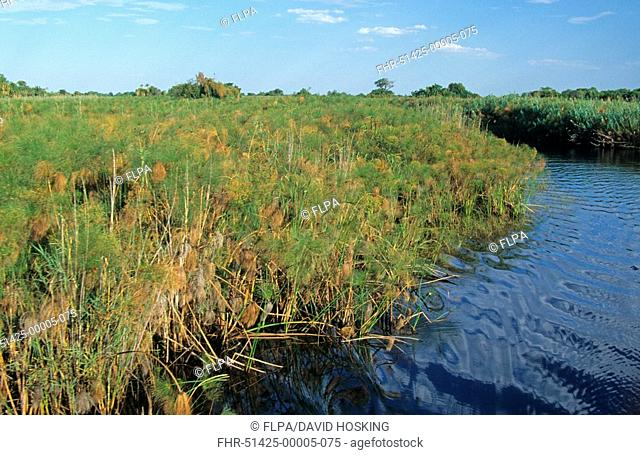 Papyrus Cyperus papyrus growing by edge of water channels, Okavango Delta, Botswana