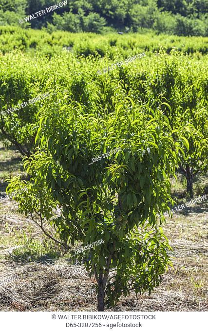 Armenia, Areni, orchard, fruit trees