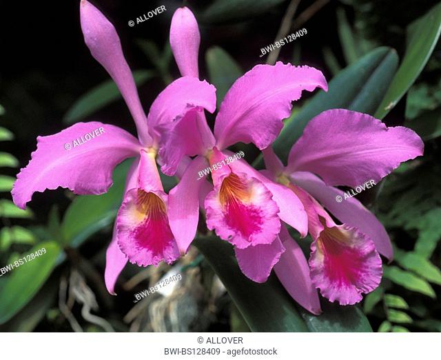 Cattleya Leviathan Stock Photo Picture And Royalty Free