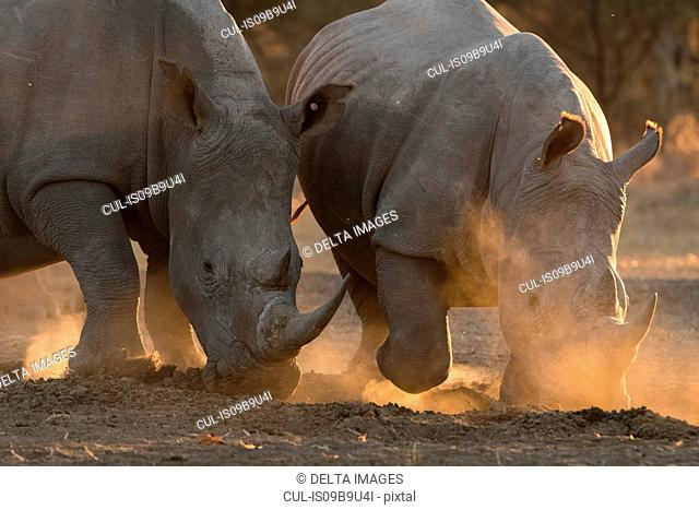 Two white rhinoceroses (Ceratotherium simum) pawing dust, Kalahari, Botswana