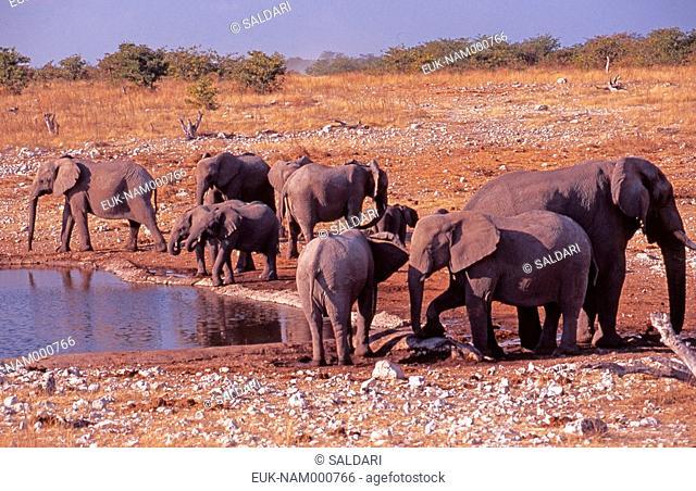 African elephants, Etosha park, Namibia