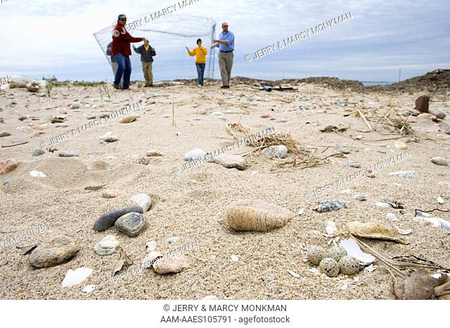 Volunteers build and 'exclosure' for a piping plover nest on the beach at Griswold Point in Old Lyme, Connecticut. Nature Conservancy Preserve
