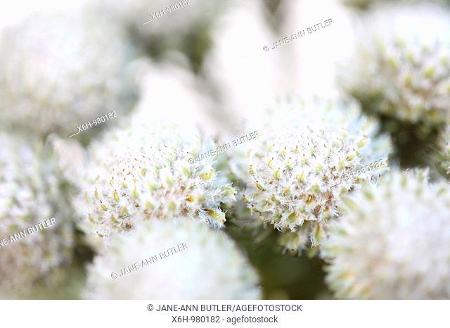 Beautiful Full Frame Brunia Round Flower Heads