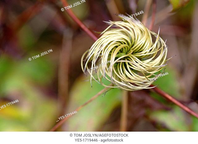 Clematis seed head close up, England, UK