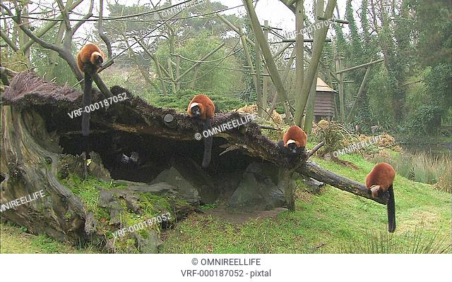 Four Red Ruffed Lemurs sitting on wooden log with tree stump and rocks below and trees behind