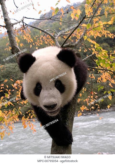 Giant Panda (Ailuropoda melanoleuca) cub climbing tree, China