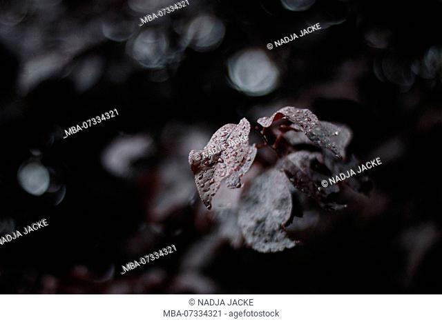 the foliage of the ornamental cherry in the warm June rain