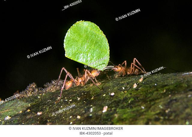 Leafcutter Ants (Acromyrmex octospinosus) carrying a leaf, Pacaya Samiria National Reserve, Yanayacu River, Amazon area, Peru