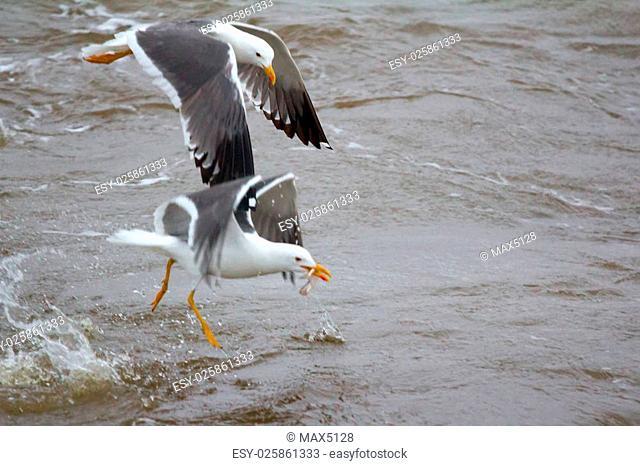 Northern herring gull or lesser black-backed gulls (Larus heuglini) on Pechora sea (part of Barents sea)