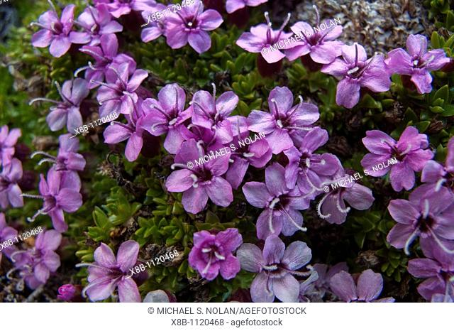 A close-up view of moss campion Silene acaulis in Svalbard, Norway  MORE INFO This is a small mountain-dwelling wildflower that is common all over the high...