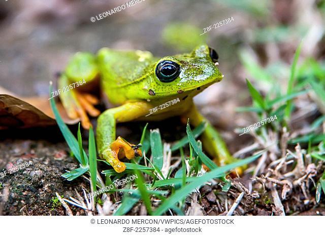 Green treefrog sitting on grass