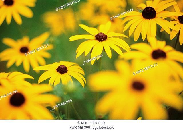 Rudbeckia fulgida, Coneflower / black-eyed Susan