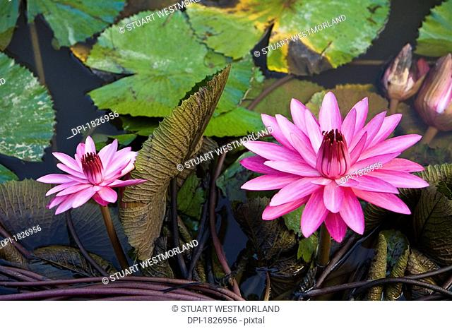 Lotus flower blossoms