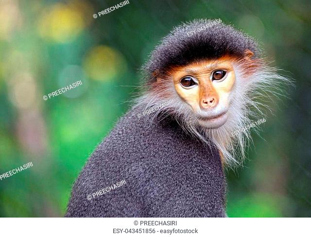face of the Red-shanked Douc Langur in the natural atmosphere