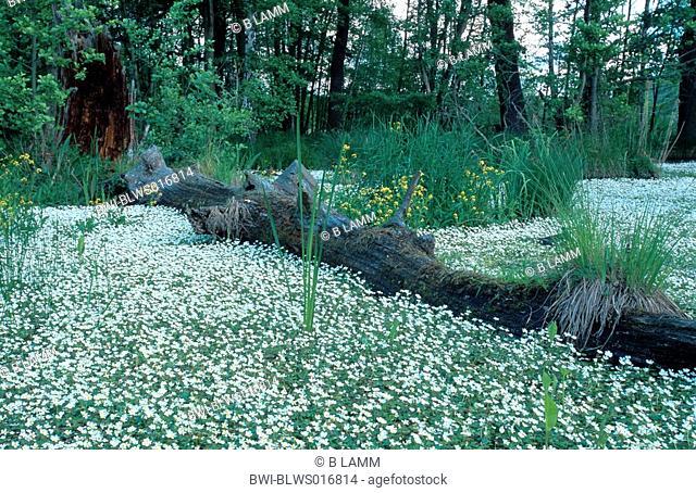 river water-crowfoot Ranunculus fluitans, blooming, Germany, Brandenburg