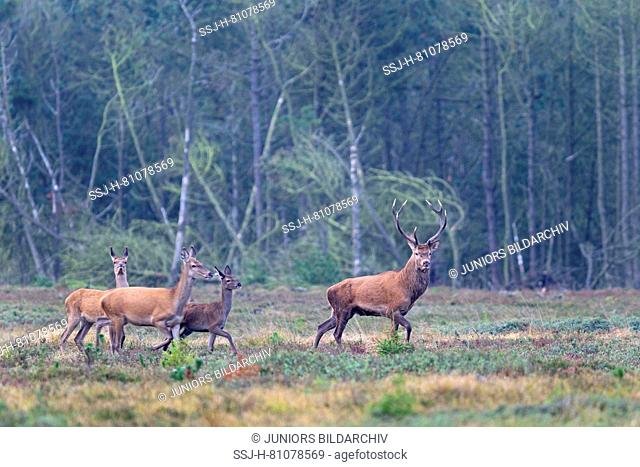 Red Deer (Cervus elaphus). Stag, two hinds and a calf, walking on heath. Denmark