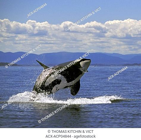 Orca/Killer Whale Orcinus orca breaching, summer, Haro Strait between BC, Canada & WA, USA