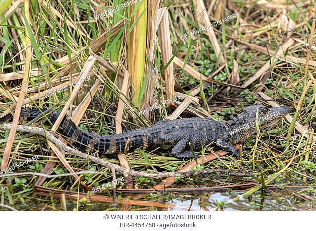 American alligator (Alligator mississippiensis), juvenile in the reeds, Everglades National Park, Florida, USA