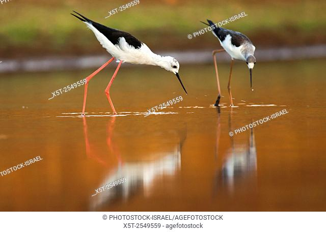male (Left) and female (right) Black-winged Stilt (Himantopus himantopus) wading in water Photographed in Israel in September