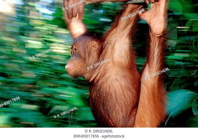 orang-utan, orangutan, orang-outang (Pongo pygmaeus), young male, swinging at rope, Malaysia, Sabah, Sepilok