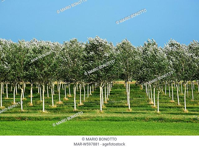 row of poplars, santa giulia, delta del po