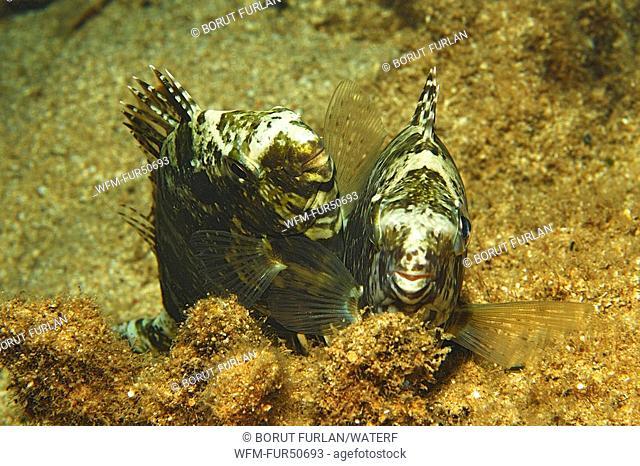Mating Dusky Rabbitfishes, Siganus luridus, Kas, Mittelmeer, Turkey