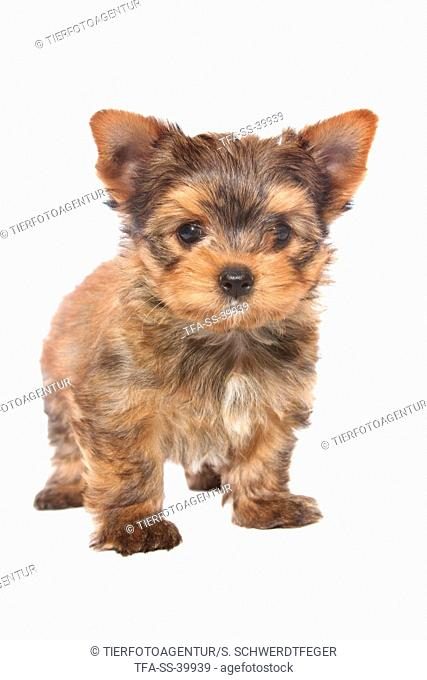 standing Yorkshire Terrier Puppy