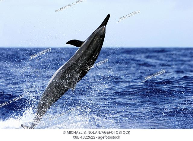 Hawaiian Spinner Dolphin Stenella longirostris 'spinning' in the AuAu Channel between Maui and Lanai, Hawaii, USA  Pacific Ocean