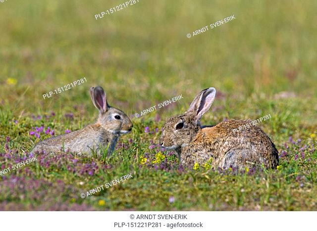 European rabbits / common rabbit (Oryctolagus cuniculus) adult with juvenile in meadow