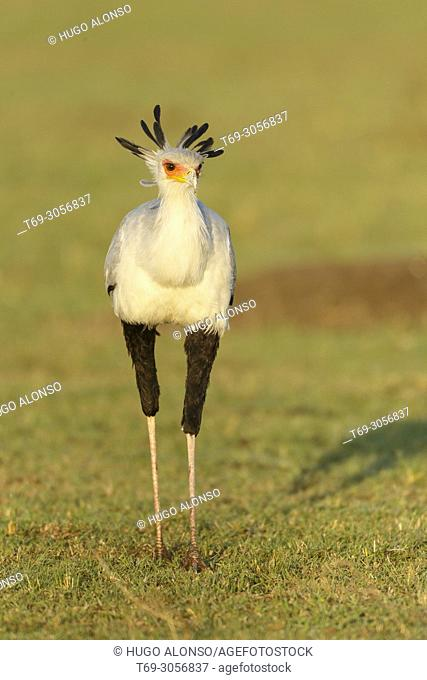Secretarybird or secretary bird. Sagittarius serpentarius. Kenia. Africa