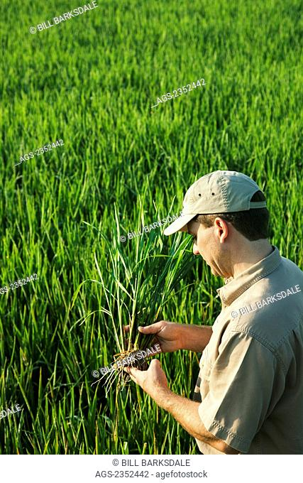 Agriculture - A crop consultant in the field inspects a mid growth rice plant at the early head formation stage / Arkansas, USA