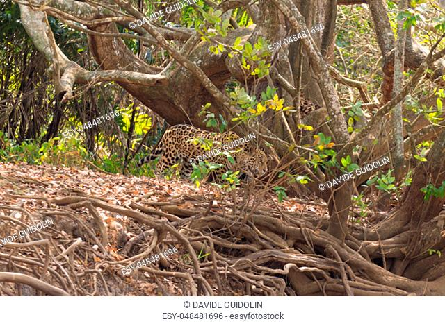 Jaguar on riverbank from Pantanal, Brazil. Wild brazilian feline. Nature and wildlife