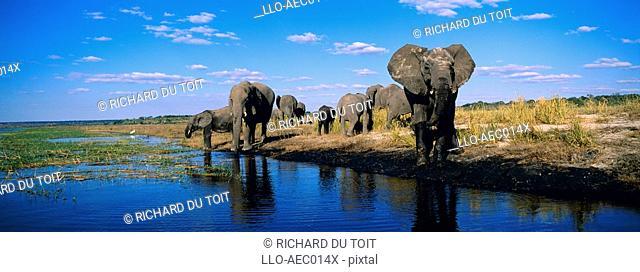 Elephant Loxodonta africana Herd Drinking from the Chobe River  Chobe National Park, Botswana