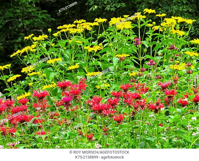 Red Bee balm and Yellow coneflowers
