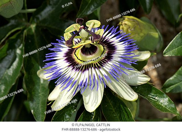 Blue passion flower, Passiflora caerulea, fully open and demonstrate several symbols of Christian belief from which it derives its name, Berkshire, July
