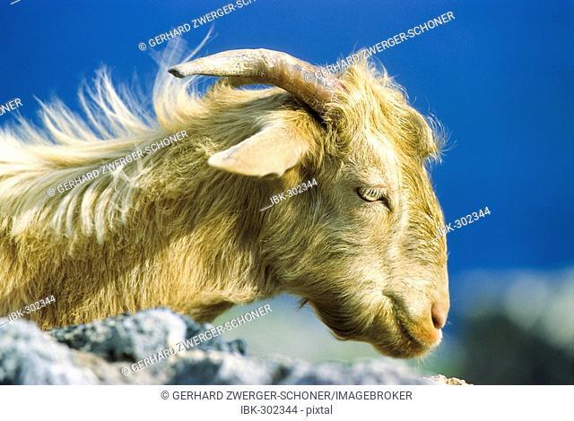 Goat, portrait, Crete, Greece