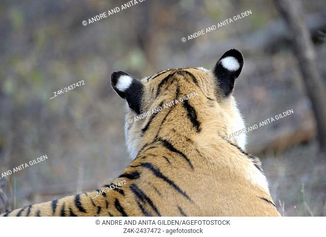 Bengal Tiger (Panthera tigris tigris) portrait of back of the head, Ranthambhore national park, Rajastan, India