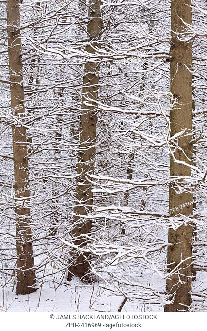 An abstract detail shot of snow covered pine trees in East Gwillimbury, Ontario, Canada