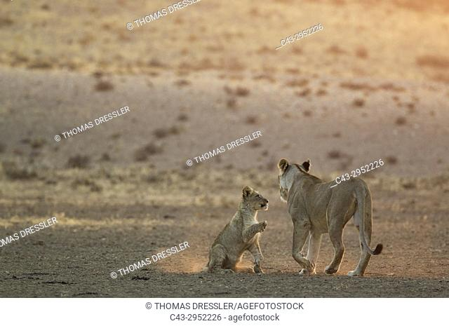 Lion (Panthera leo). Female with playful cub in the light of the early morning. Kalahari Desert, Kgalagadi Transfrontier Park, South Africa