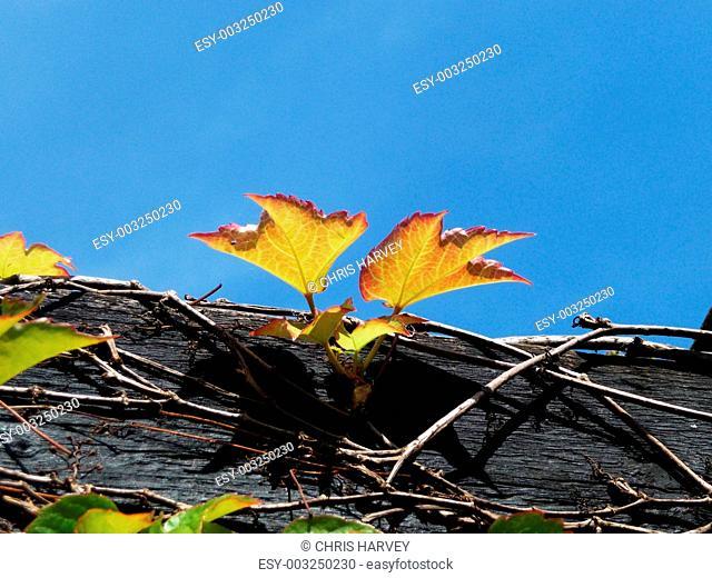 Vine Growing On Wood