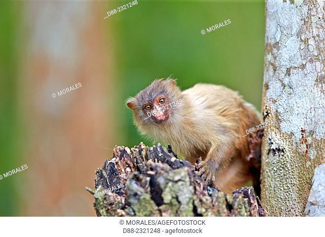 South America,Brazil,Mato Grosso,Pantanal area,Black-tailed marmoset (Mico melanurus)