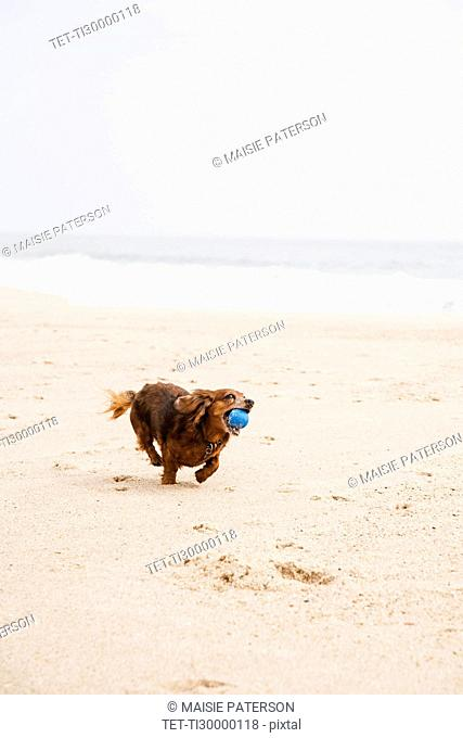 Happy dachshund running on beach with ball in mouth