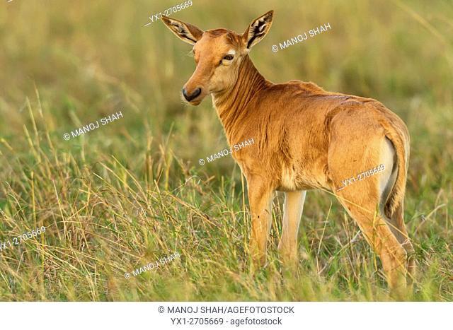 Topi calf, Masai Mara National Reserve, Kenya