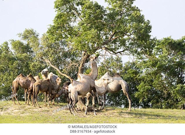 China, Inner Mongolia, Hebei Province, Zhangjiakou, Bashang Grassland, Bactrian camel (Camelus bactrianus), eat leaves of tree branches