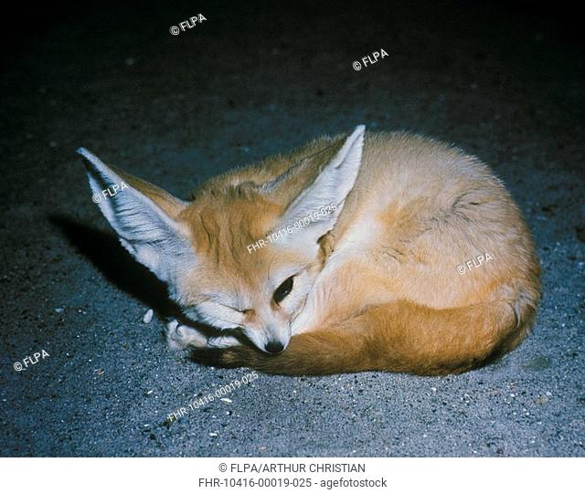 Fennec Fox Fennecus zerda adult, curled up on ground, captive