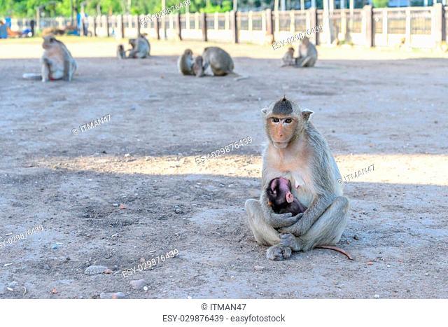 Family monkey in Lopburi, Thailand