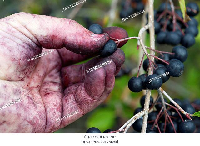 Stained hands picking Aronia (Chokeberry) (melanocarpa); Queenstown, Maryland, United States of America